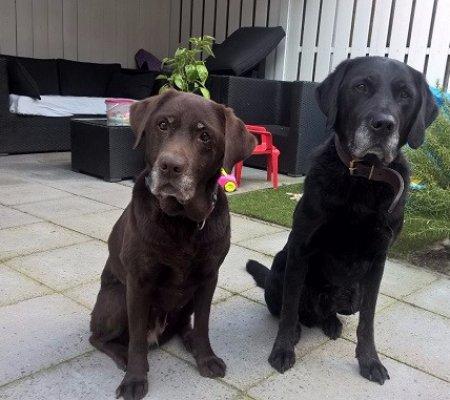 Labrador Herplaatsing